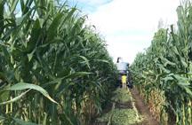 corn field research photo