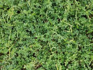 Photo of meadow fescue-alfalfa trial planting