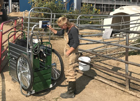 Dairy researcher weighing calf on scale