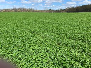 Lush field of alfalfa